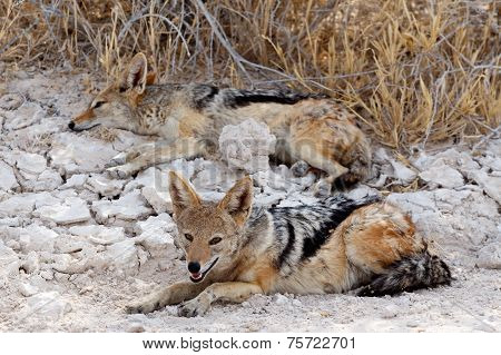 Two Black-backed Jackal (canis Mesomelas) Lying In Etosha Park