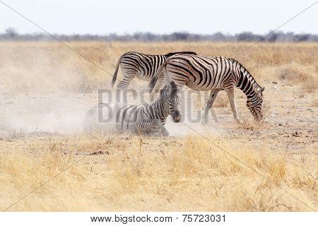 Zebra Rolling On Dusty White Sand