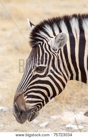 Zebra Portrait. Burchell's Zebra, Equus Quagga Burchellii.