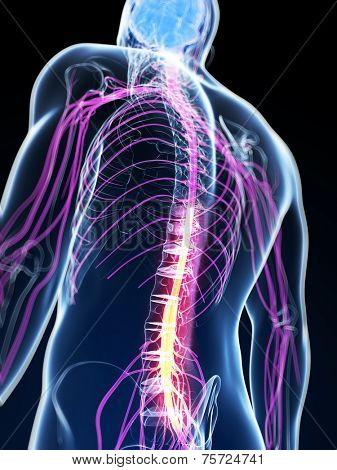 3d rendered illustration of the spinal cord