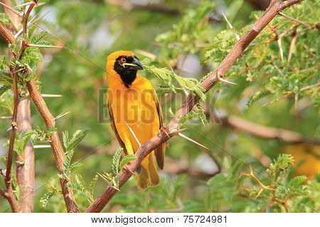 Southern Black Masked Weaver - African Wild Bird Background - Leaf of Peace