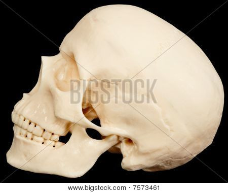Human Skull On Black Background In Profile