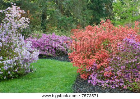 Various Colors Of Azaleas