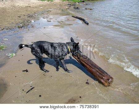 The dog tries to drag the log