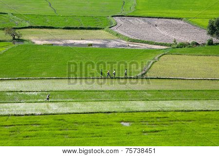 Rice field at Chau Doc, An Giang Province , Southern of VIetnam,  farmers are walking on dike