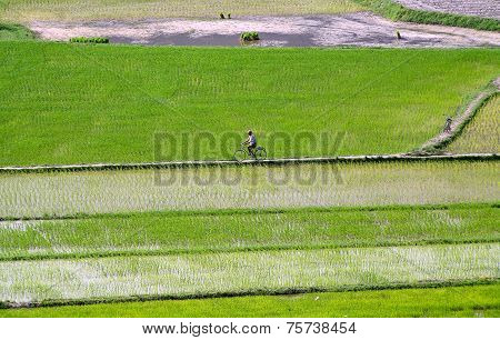 Rice field at Chau Doc, An Giang Province , Southern of VIetnam