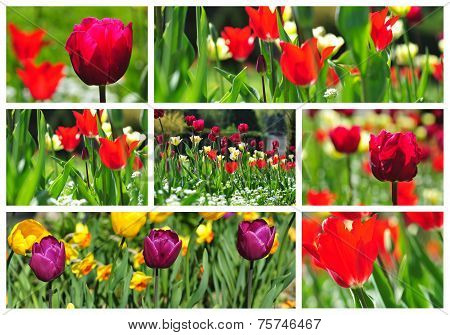 Collage Of Colorful Tulips In A Field