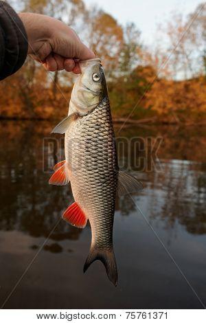 Nice chub caught at sunset, autumn scene