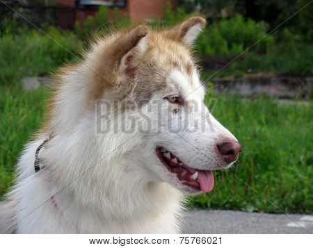 Alaskan Malamute walks in nature
