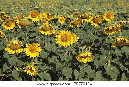 Field Of Sunflowers  .
