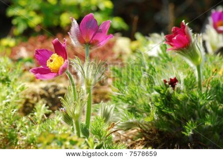 pulsatilla - pasque flower