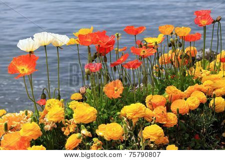 Colorful Poppies And Ranunculus On The Lake Geneva, Montreux.