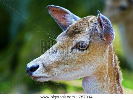 la cabeza de los ciervos