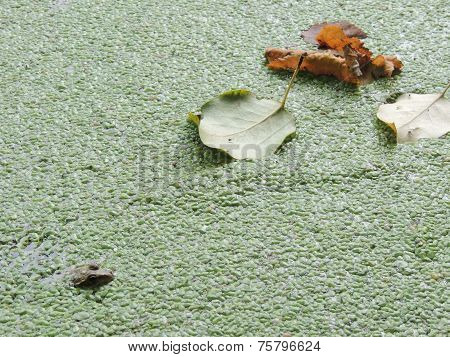 Moor Frog On A Water Body