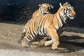 stock photo of tiger cub  - One young tiger runs after the other  - JPG