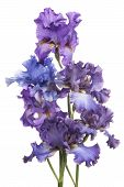 picture of purple iris  - Studio Shot of Multicolored Iris Flowers Isolated on White Background - JPG
