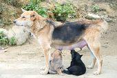 picture of puppies mother dog  - Dog Mother Stand Feeding the 2 cute puppies - JPG