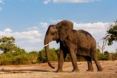 picture of elephant ear  - Portrait of African Elephant in Chobe National Park Botswana - JPG