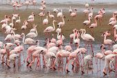 foto of pink flamingos  - Huge colony of Rosy Flamingo in Walvis Bay Namibia overcast True wildlife - JPG