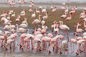 picture of flamingo  - Huge colony of Rosy Flamingo in Walvis Bay Namibia overcast True wildlife - JPG