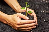 picture of nature conservation  - two hands holding and caring a young green plant  - JPG