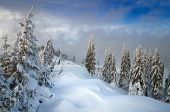 pic of coniferous forest  - Coniferous forest in winter - JPG