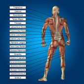 picture of male body anatomy  - Concept conceptual 3D human anatomy and muscle text on blue gradient background - JPG
