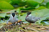 stock photo of tern  - common tern feeding its chicks in the nest  - JPG