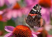 picture of prairie coneflower  - A beautiful Red Admiral butterfly feeds on the nectar of a Purple Coneflower in a midwestern prairie - JPG
