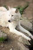 foto of wolf-dog  - Arctic Wolf  - JPG