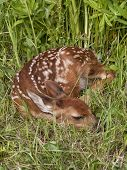 image of bambi  - Baby white tailed fawn curled up sleeping in the grass - JPG
