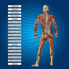 stock photo of triceps brachii  - Concept conceptual 3D human anatomy and muscle text on blue gradient background - JPG