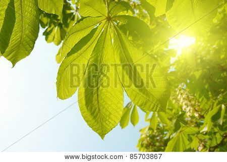 Green Leaves Of Chestnut.