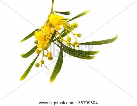 Yellow Fluffy Flowers On Acacia