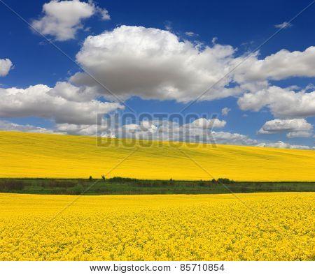 Yellow rape field under nice clouds in blue sky