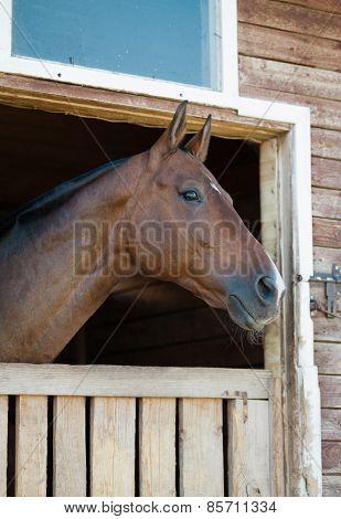 A Purebred Bay Horse