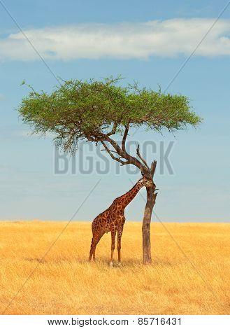 Giraffe in Masai Mara Kenya