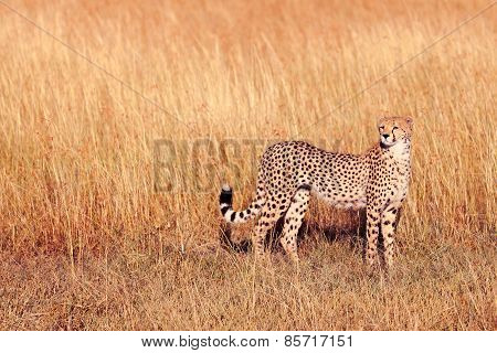Male Cheetah In Masai Mara
