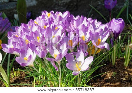 Crocus Longiflorus Flowers In Spring, Norway