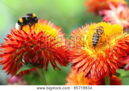 Bumble bees on flowers.