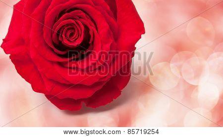 Festive Rose