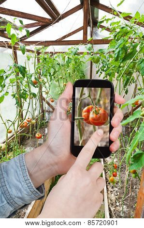 Tourist Photographs Ripe Red Tomato In Greenhouse
