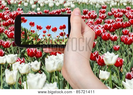 Tourist Photographs Meadow Of Red And White Tulips