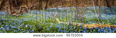 Panorama of early spring blue flowers wood squill blooming in abundance on forest floor. Ontario, Canada.