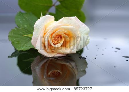 White rose after rain.