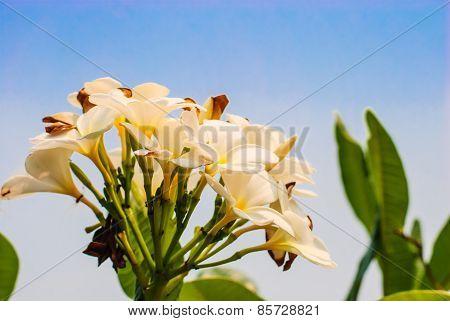 Flowers Of Plumeria