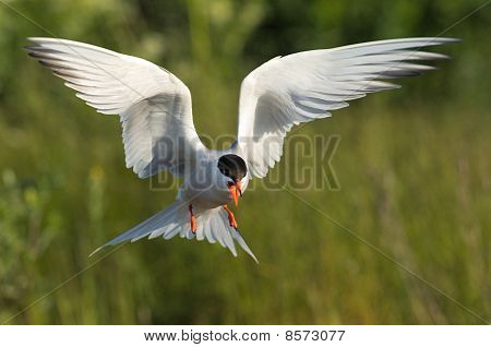 Flitting Tern.
