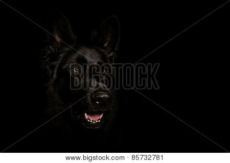 Black German Shepard
