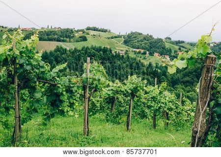 Grapevine cultivation in Southern Styria