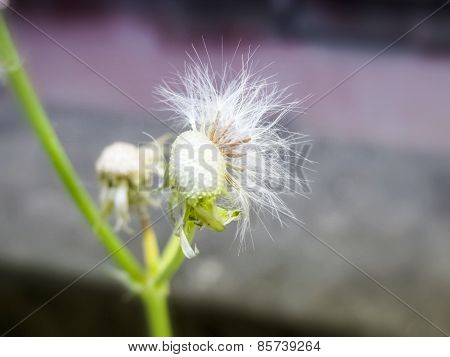 Dandelion Flower Seeds With Some Blosoms